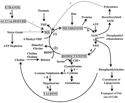 Methionine Same Homocysteine And The Methionine Cycle