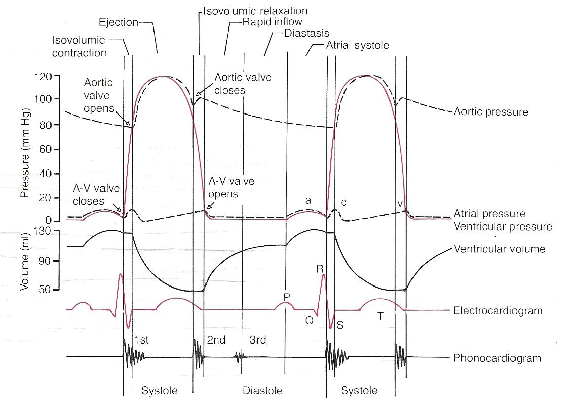 Electrocardiograph ecgekg interpretaion ventricular cycle ccuart Gallery